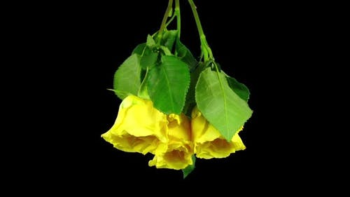 Time-lapse of drying three yellow roses winter bouquet