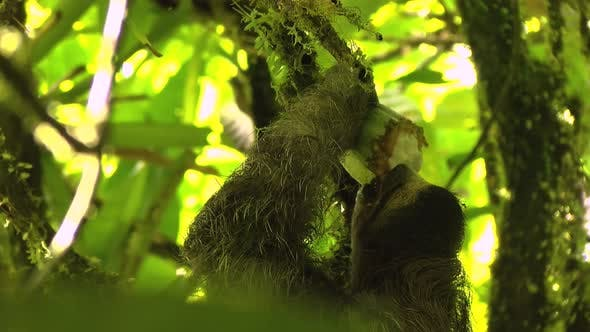 Thumbnail for Three-toed Sloths Eating Cocoa on a Branch