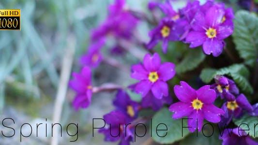 Thumbnail for Spring Purple Flower
