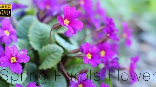 Thumbnail for Sprring Purple Flower 2