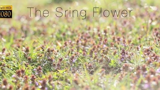 Cover Image for The Sring Flower