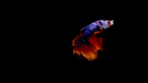 Thumbnail for Siamese Half Moon Fighting Fish Betta Splendens