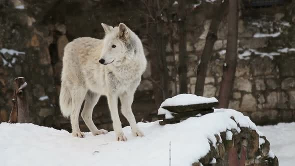 Lioness Walks in the Snow and Carefully Looks Around