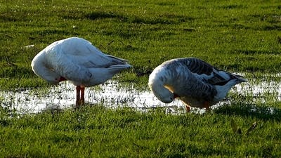 Domestic Geese 1