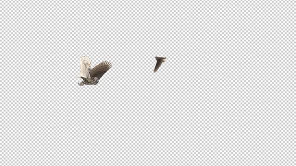 Horned Owls - Pair Flying Around - Transparent Loop