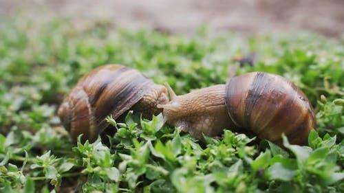 Helix Pomatia Also Roman Snail, Burgundy Snail,