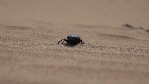 Thumbnail for Scarab Beetle Walking On Sand Dune In Desert At Windy Sandstorm