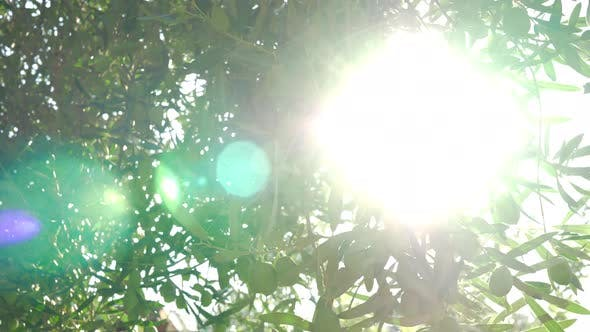 - Sunbeam Coming Through the Green Olive Tree Branches