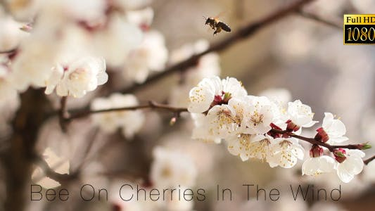 Thumbnail for Bee On Cherries In The Wind