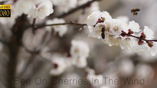Thumbnail for Bee On Cherries In The Wind 2