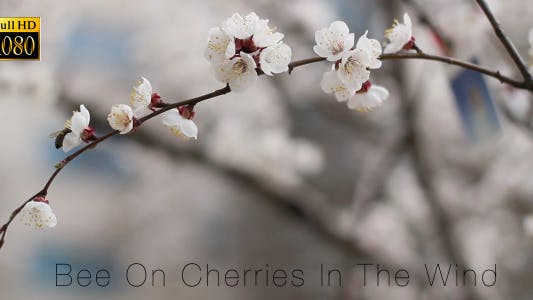 Thumbnail for Bee On Cherries In The Wind 3