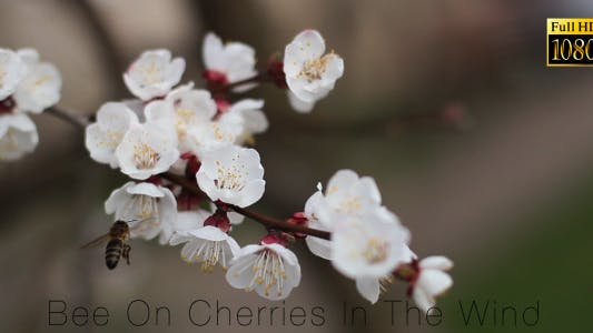 Thumbnail for Bee On Cherries In The Wind 4