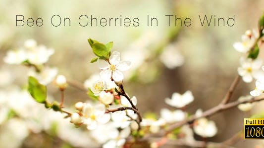 Thumbnail for Bee On Cherries In The Wind 6