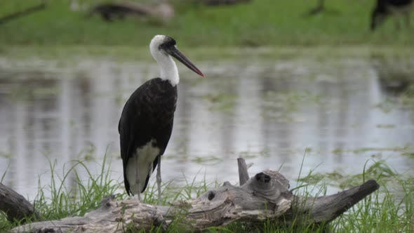 Cover Image for Woolly necked stork around a pond at Moremi Game Reserve in Botswana