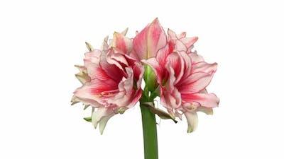 Rotating amaryllis Joker flower, seamless loop