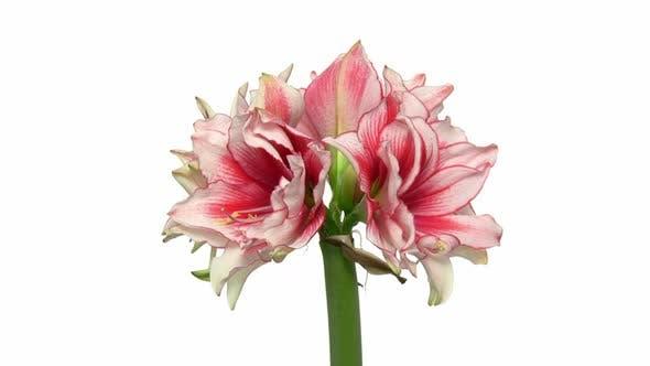 Thumbnail for Rotating amaryllis Joker flower, seamless loop