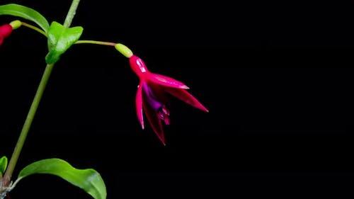 Beautiful pink and purple fuchsia flowers