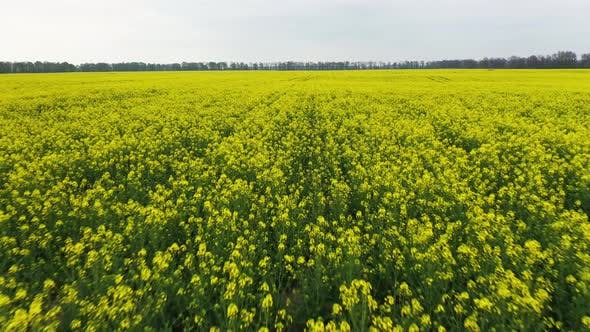 Lovely Prairie Landscape With a Yellow Canola Field