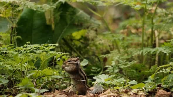 Closeup of a Small Curious Chipmunk Eating a Flower Leaf Standing on Its Hind Legs and Holding on To