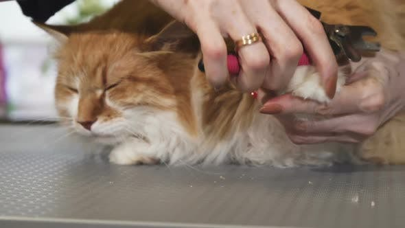 Thumbnail for Cute Fluffy Ginger Cat Getting His Claws Cut By a Vet