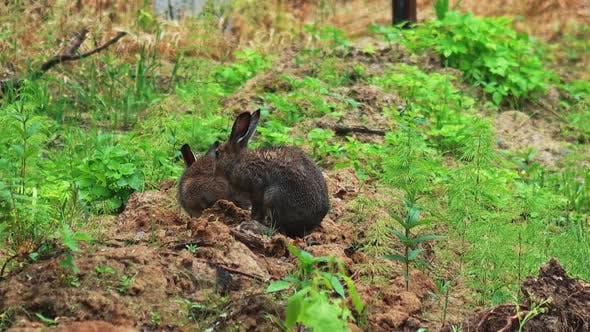 Hares and Rabbits in the Wild