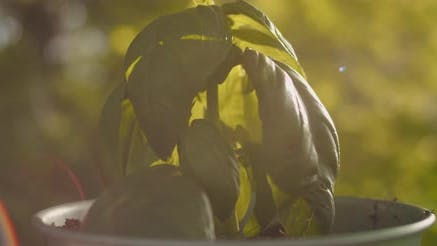 Thumbnail for Close up of small basil plant in a pot against sunlit background.