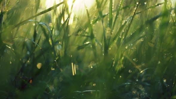 Morning Sun Through Grass