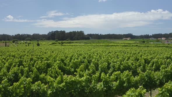 Thumbnail for Green Vineyards Aerial View 20