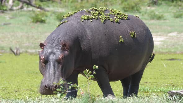 Thumbnail for Hippopotamus with duckweed grazing near a lake
