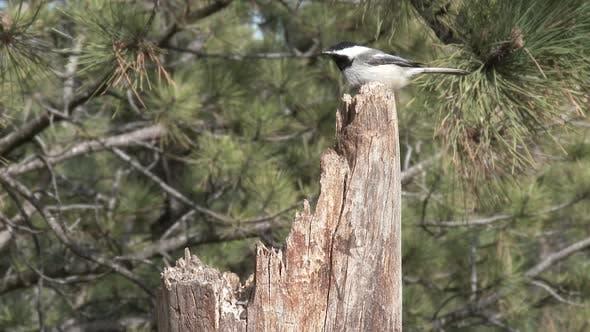 Black-capped Chickadee Adult Lone Flying Flight in Spring in South Dakota