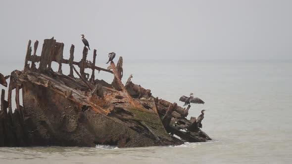 Thumbnail for Group cormorants on a shipwreck