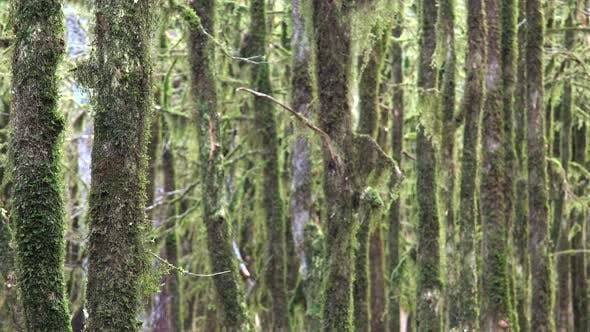 Tree Branches in a Mystic Forest Completely Covered With Moss