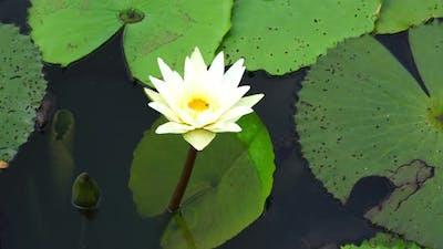 white lotus on the river