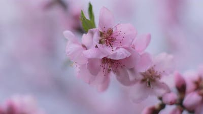 Zoom Out Shot of Almond blossoms, close up