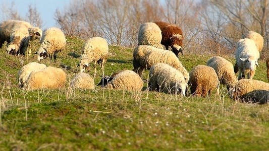 Thumbnail for Sheep On A Pasture (Miniature Effect)