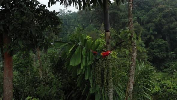 Thumbnail for Un ara ara ou ara écarlate qui mange des fruits d'un palmier