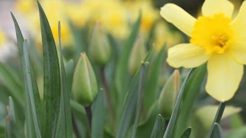 Yellow Daffodils 3