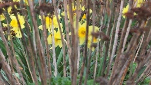 Yellow Daffodils 8
