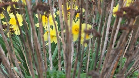 Thumbnail for Yellow Daffodils 8