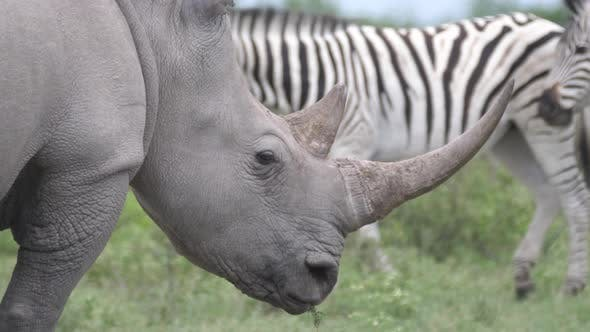 Thumbnail for Close up from a rhino grazing while a herd of zebras