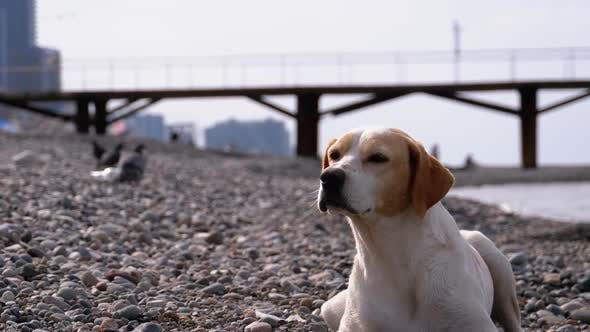 Thumbnail for Stray Dog Lies on a Stone Shore of the Sea. Hungry, Wild and Unhappy Homeless Dog.