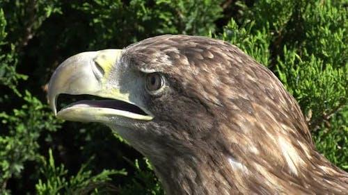 White-tailed eagle (lat. Haliaeetus albicilla)