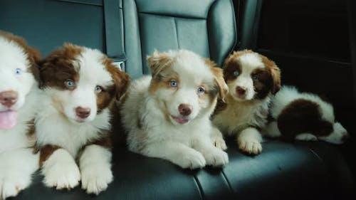 Fünf kleine Welpen reisen auf dem Rücksitz eines Autos. Haustiere, die mit dem Eigentümer reisen