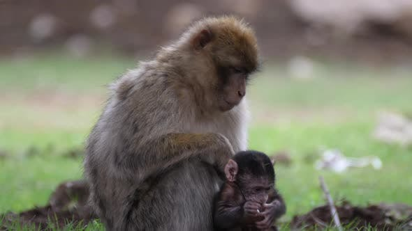 Thumbnail for Barbary ape baby jumps on his mom