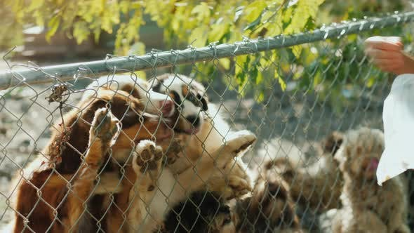 Thumbnail for A Man Gives Tasty Slices of Food To Dogs in the Shelter