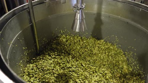 Hops Ready for Mashing During the Beer Making Process