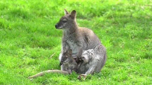Kangaroo with a baby kangaroo