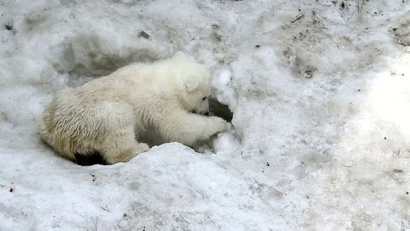 Cover Image for Polar Bear Baby