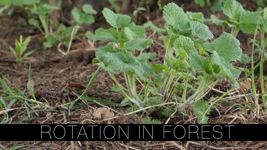 Thumbnail for Rotation In Forest