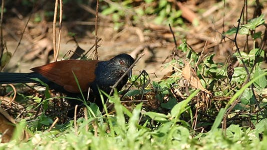 Thumbnail for Greater Coucal Bird Pack 1
